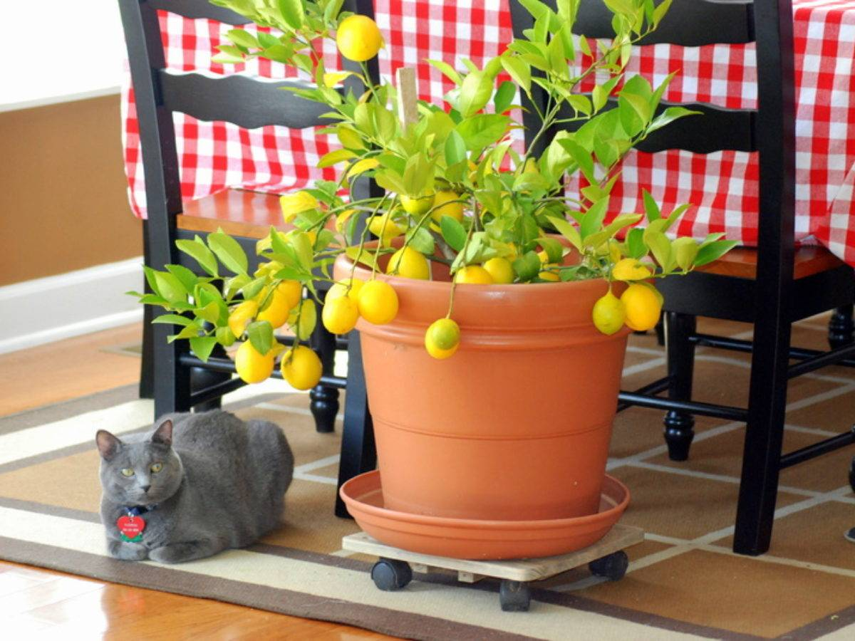Выращивание саженца комнатного лимона и прививка для ускоренного плодоношения