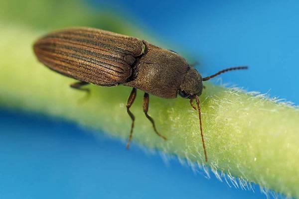 Описание и борьба с жуком щелкуном (проволочником) на картошке