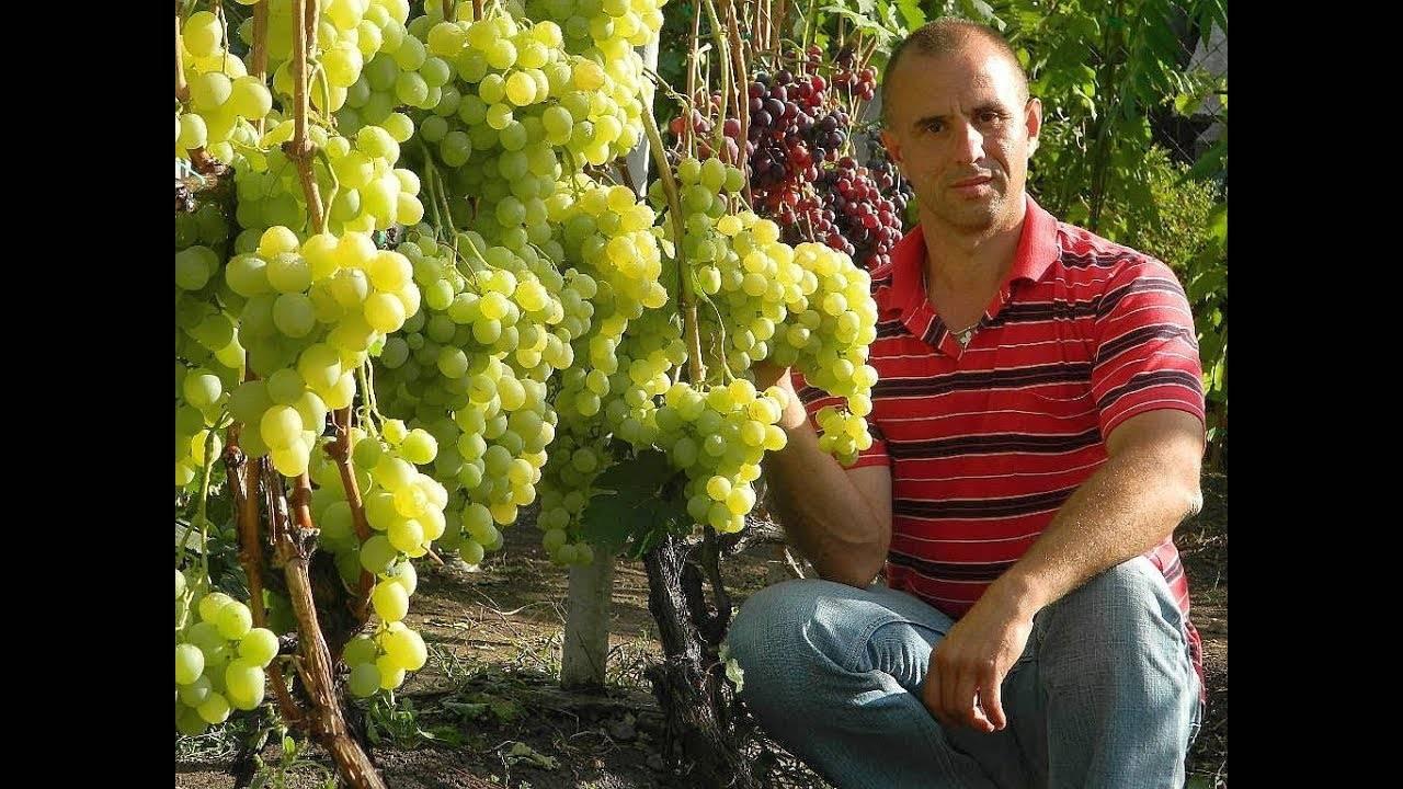 Виноград «преображение»: описание сорта, фото и отзывы