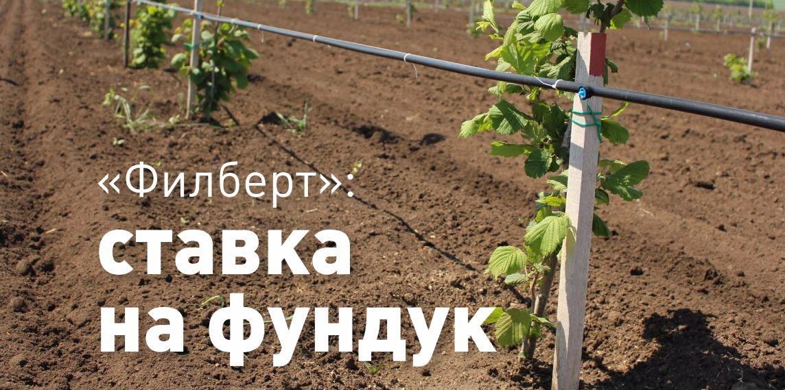 Выращивание и правильный уход за фундуком в средней полосе россии