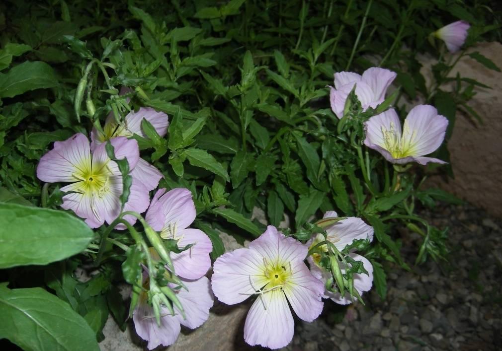 Многолетняя энотера: выращивание из семян, когда сажать, фото