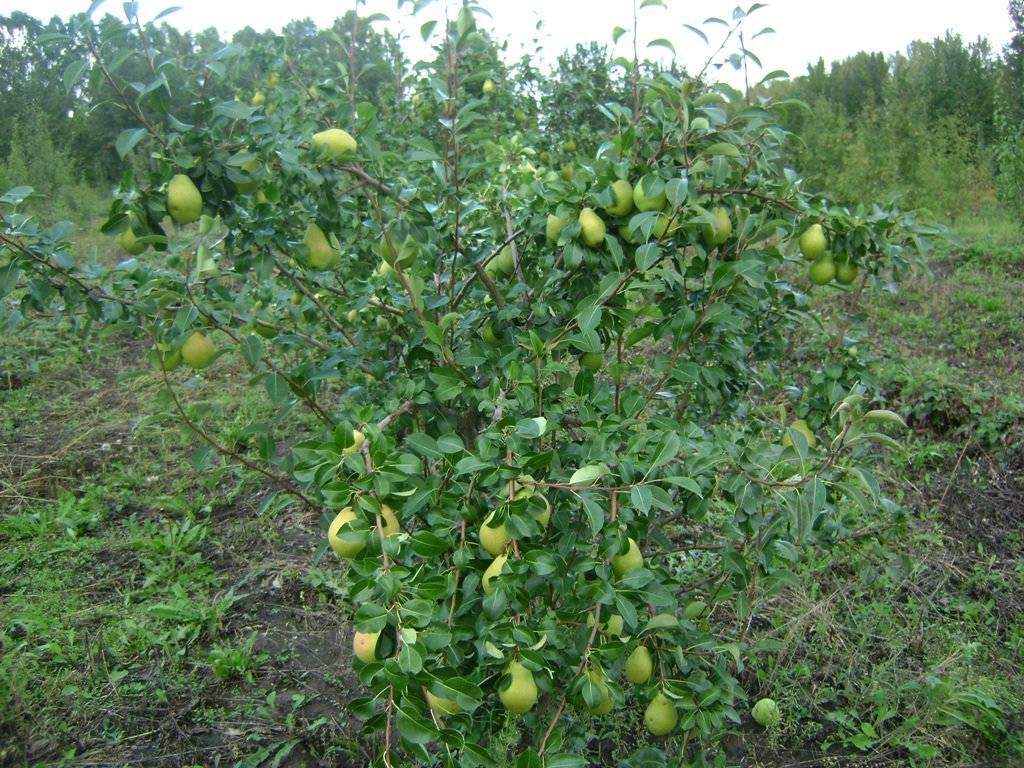 Скороплодный зимостойкий сорт груши Памяти Жегалова
