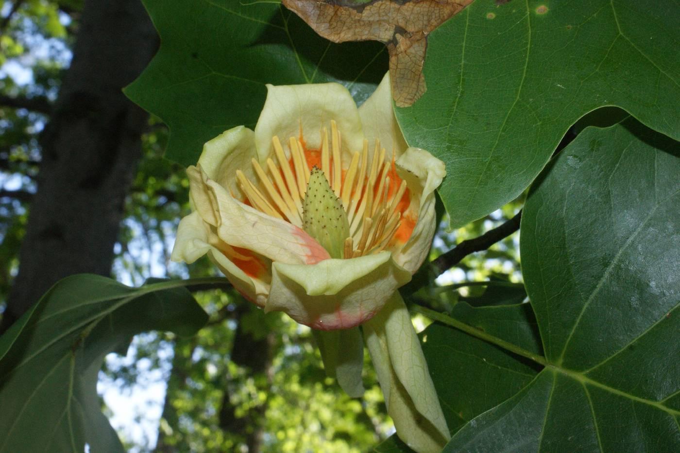 Тюльпановое дерево лириодендрон в домашних условиях выращивание, видео
