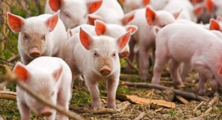 Плюсы и минусы содержания свиней породы ландрас