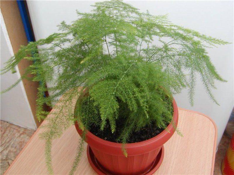 Как вырастить комнатный аспарагус мейера из семян