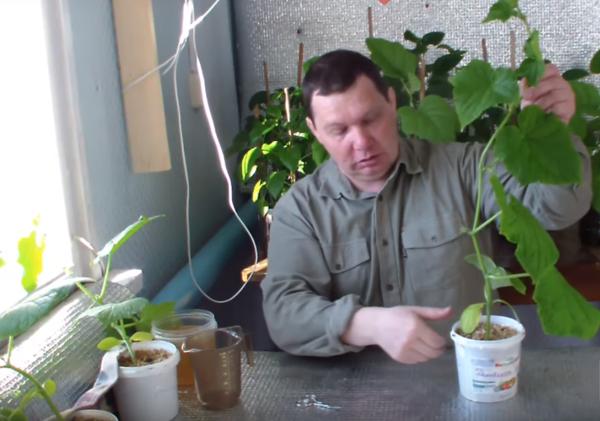 Рассада огурцов (видео)