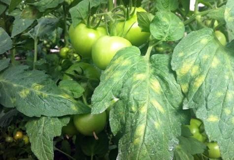 Чем болеет рассада помидоров: причины и признаки болезней, фото и лечение