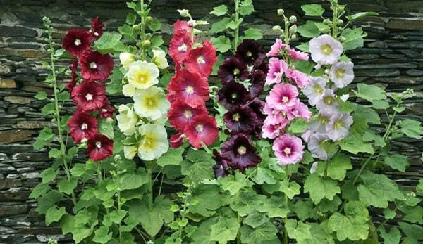 Выращивание шток-розы из семян, когда сажать и как добиться цветения