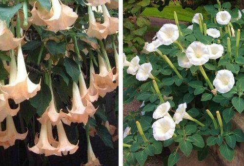 Выращивание бругмансии из семян - посадка и уход, видео