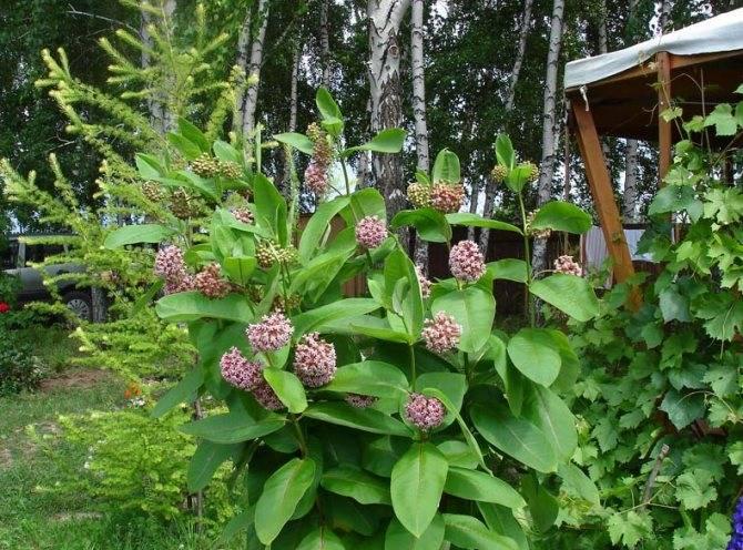 Мшанка: выращивание, посадка и уход в открытом грунте
