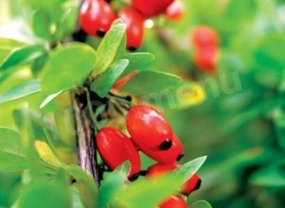 Барбарис — лекарственная ягода. рецепты соуса, пастилы, варенья и сиропа