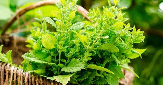 """Не только """"женская трава"""" — лечебные свойства мелиссы лимонной и особенности ее применения"""
