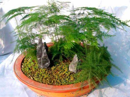 Аспарагус — родина растения, полезные свойства, значение цветка, энергетика, видео