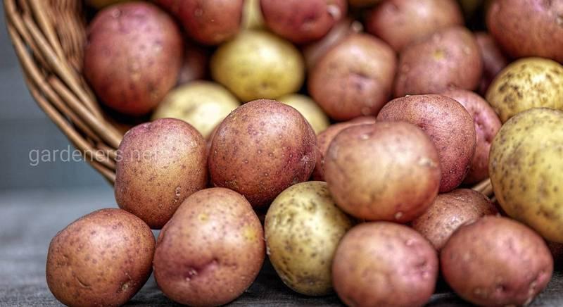 Картофель: как из многообразия сортов выбрать самый вкусный
