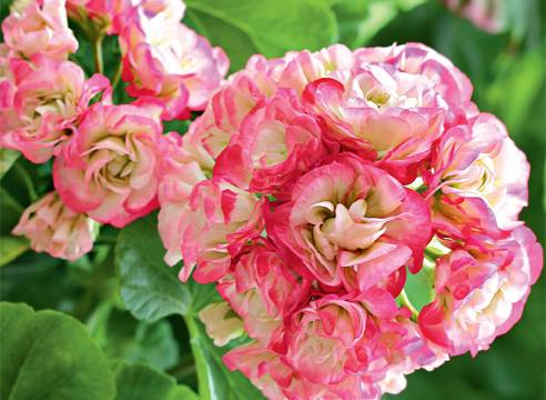 Розебудные пеларгонии (герань): фото, описание, посадка и уход