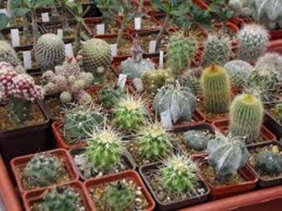 Как посадить кактус: как правильно размножить, как обрезать черенки и укоренить их в домашних условиях, как вырастить несколько цветов в одном горшке, также уход