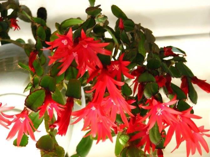 Оригинальный кактус хатиора: уход в домашних условиях, нюансы выращивания экзотического эпифита