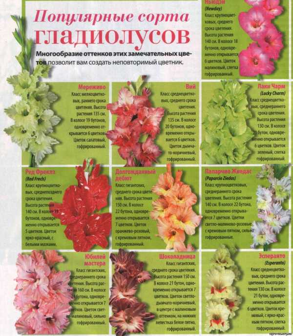 Благоприятные дни для посадки луковиц гладиолусов весной 2020 года