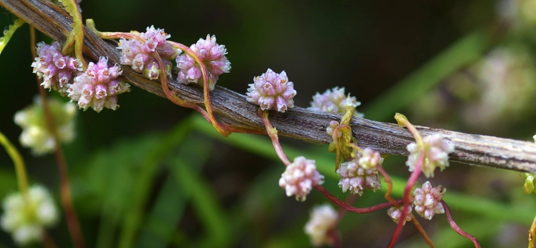 Повилика: растение-паразит