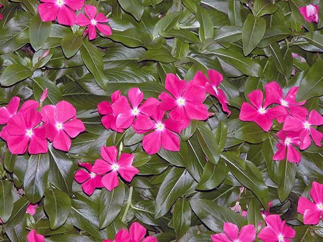 Катарантус: выращивание и уход в домашних условиях