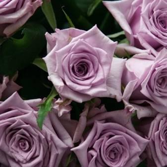 Зеленые розы: особенности и описание сортов