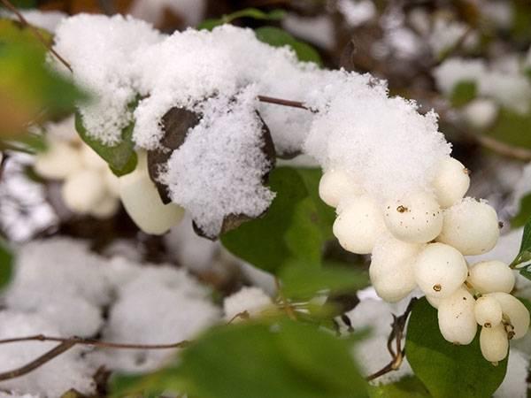 Снежноягодник — белое очарование