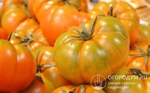 Лучшие сорта зеленоплодных томатов 2019, по мнению наших читателей