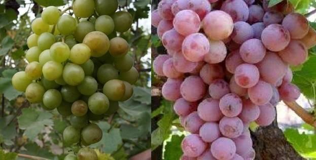 Виноград ризамат – капризное лакомство
