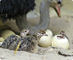 Раскрываем все секреты яйценоскости страусов