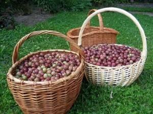 Правильная подкормка крыжовника после сбора урожая