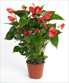 У вашего антуриума тоже сохнут цветы?
