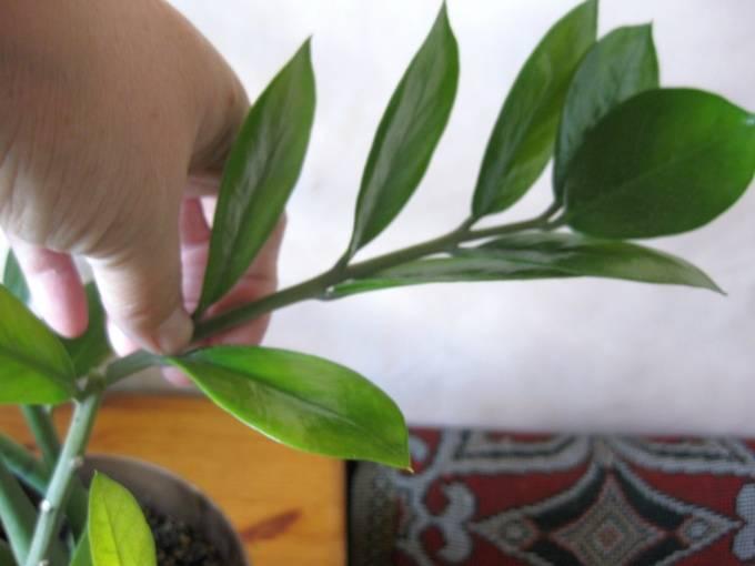 3 способа размножения замиокулькаса