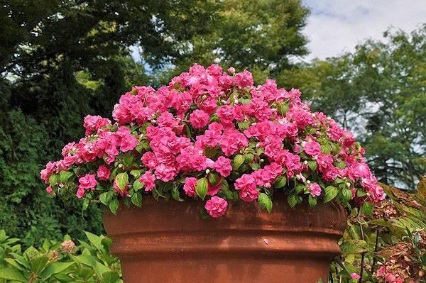 Комнатный бальзамин – уход в домашних условиях: полив и размножение бальзамина; цветок бальзамин – болезни и пересадка