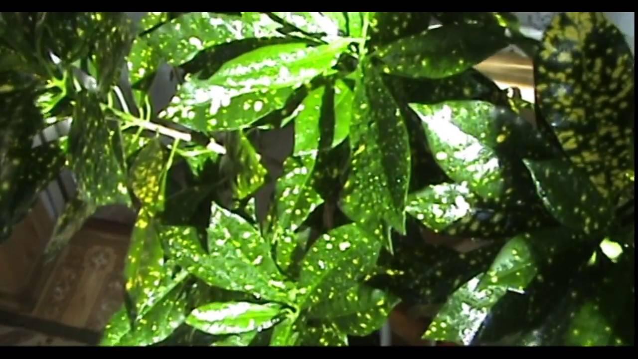 Аукуба описание лечебные свойства фото видео размножение выращивание