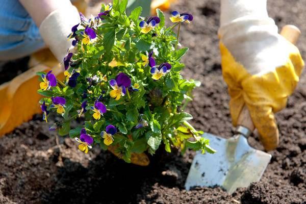 Мастер-класс по посадке семян анютиных глазок (виолы) на рассаду с фото