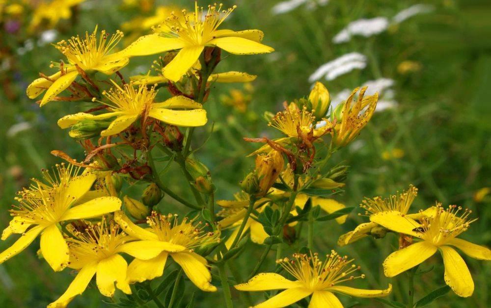 Зверобой: целительные силы природы в жёлтом цветке