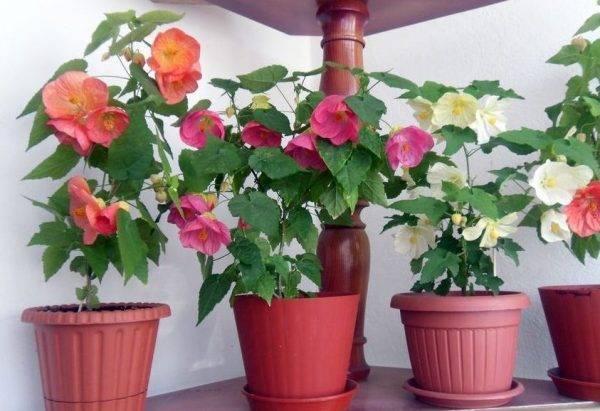 Абутилон комнатный — сворачиваются, желтеют и опадают листья, не растет, видео