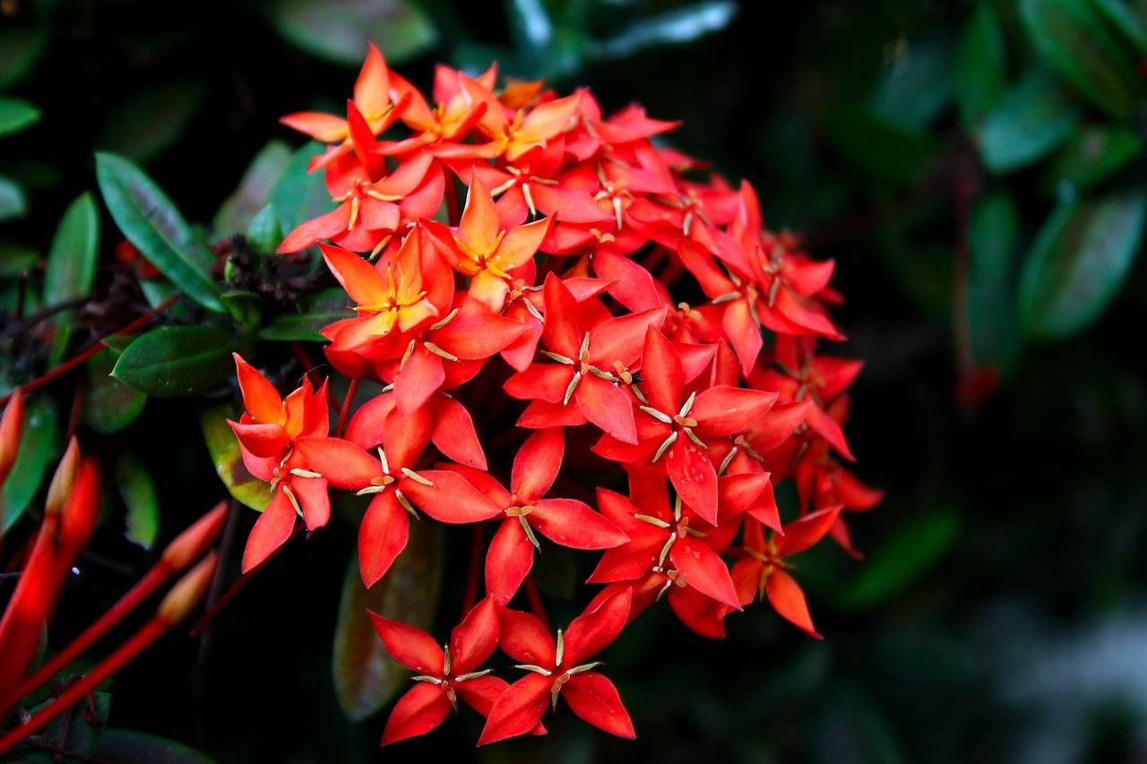 Иксора — выращивание и уход в домашних условиях с фото и видео