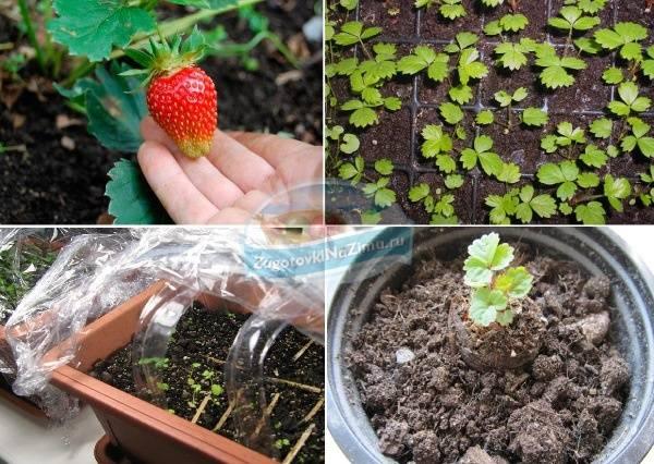 Выращивание клубники из семян в 4 этапа