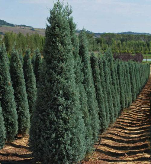 Как вырастить кипарис из семян для дачи