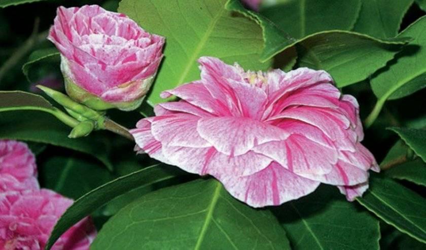 Камелия — цветочная аристократка