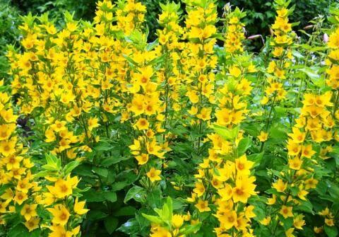 Многообразие вербейника: пышное цветение без хлопот