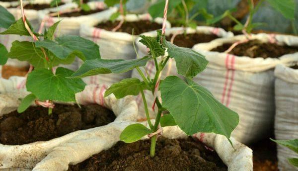Огурцы в мешках: как посадить и ухаживать