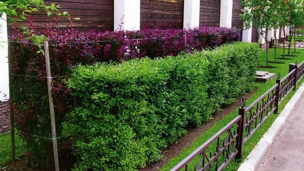 Выбираем кустарники для живой изгороди