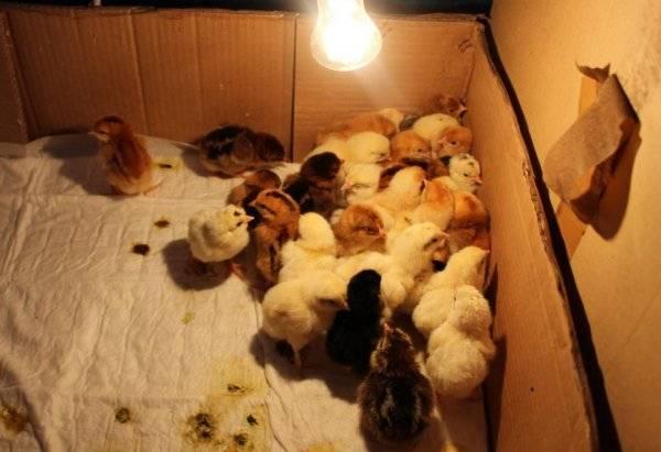 Содержание цыплят с первых дней жизни