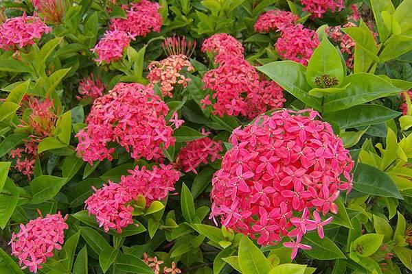 Цветок иксора: уход, выращивание и размножение в домашних условиях