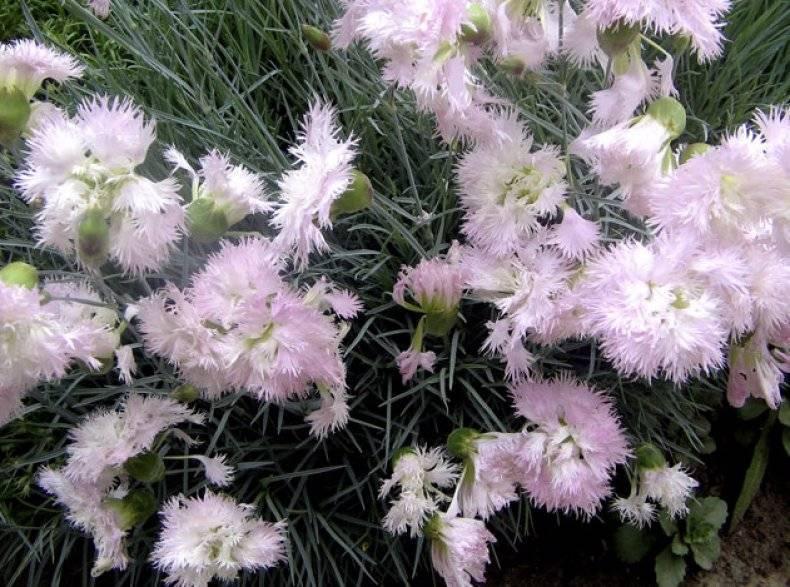 Выращивание перистой гвоздики из семян