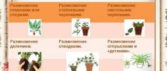 Папоротник асплениум уход в домашних условиях выращивание из спор
