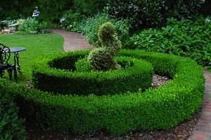 Посадка и уход за самшитом вечнозеленым в домашних условиях