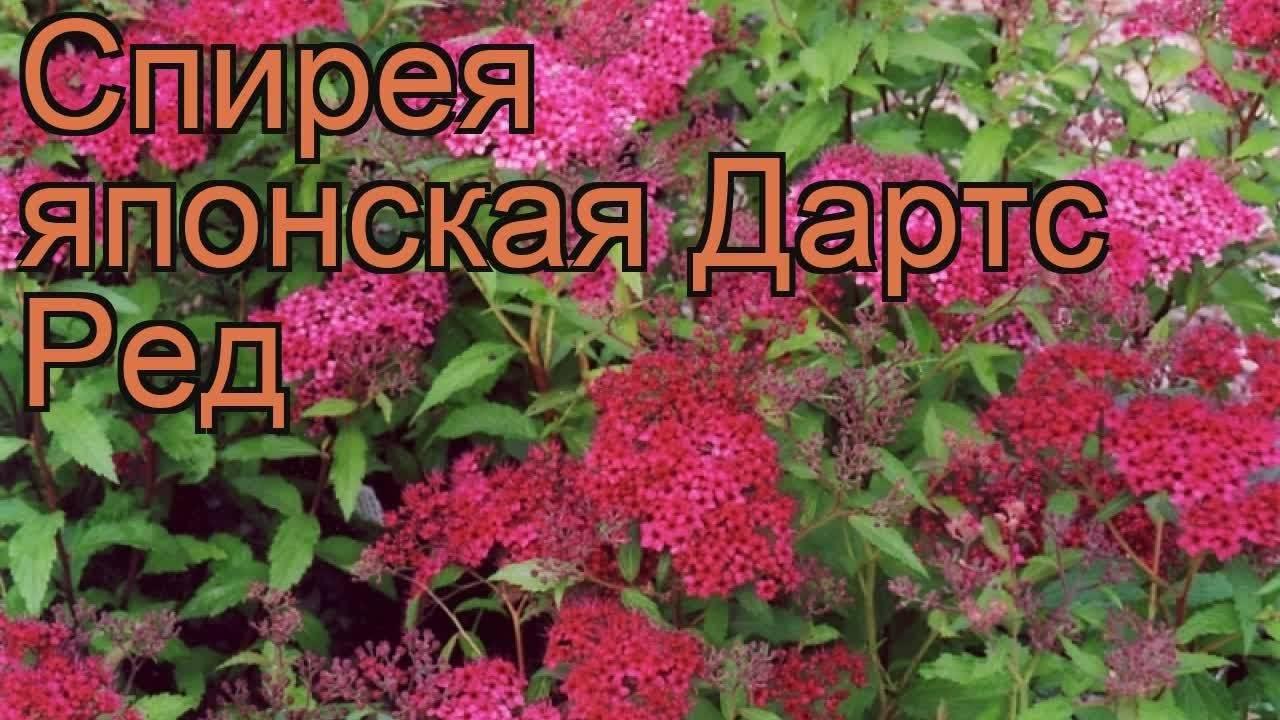 Спирея: лучшие виды и сорта декоративного кустарника